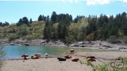 Wild cows in Giacopiane